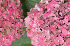 Hydrangea hortensis Royalty Free Stock Photography