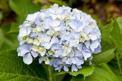 Hydrangea - Hortensius hydrangea Stock Photography