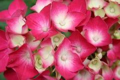 Hydrangea, hydrangea Photographie stock