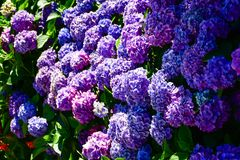 Hydrangea. Flowers in garden near Como Lake ,Italy Royalty Free Stock Images