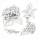 Hydrangea ink ullustration. Botanical painting Stock Photography
