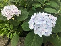 The Hydrangea in International Horticultural Exhibition 2019 Beijing China. A Pale Purple Flower in International Horticultural Exhibition 2019 Beijing China stock photos