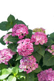 Hydrangea isolated Stock Images