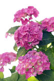 Hydrangea isolated Royalty Free Stock Photography