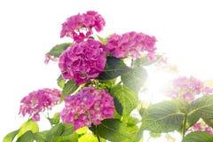Hydrangea isolated Royalty Free Stock Image