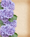 Hydrangeas border Royalty Free Stock Photos