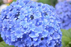 Hydrangea Japan. Photos taken in Kamakura Japan in summer of 2016 when many Hydrangea flowers bloom . In Japan, they call it Ajisai flowers royalty free stock photography