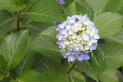 Hydrangea. In the Japanese garden Royalty Free Stock Image