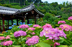 Hydrangea, Japanese temple Stock Images