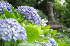 Hydrangea in Kamura stock image