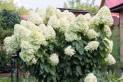 Hydrangea with large white caps of flowers Royalty Free Stock Photography