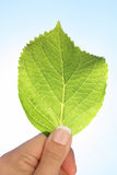 Hydrangea leaf Royalty Free Stock Photography