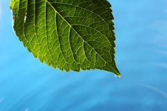 Hydrangea leaf above blue water Stock Photos