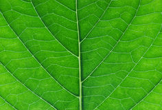Hydrangea leaf close up. Hydrangea hortensia hydrangeaceae plant green leaf close up stock photo