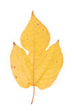 Hydrangea leaf isolated on white Royalty Free Stock Photography