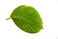 Hydrangea Leaf on White Royalty Free Stock Photos