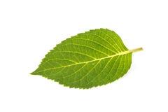 Hydrangea leaf Royalty Free Stock Photography
