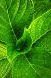Hydrangea leaves Royalty Free Stock Photography