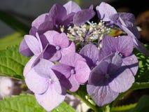 Hydrangea Lila Royalty Free Stock Image