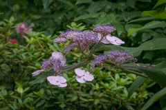 Hydrangea luteovenosa. Beautiful flower Lute-like hydrangea stock photo