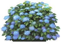 Hydrangea macrophilla-blau Stockbild