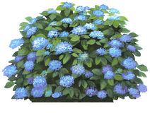 Hydrangea macrophilla-blu Immagine Stock