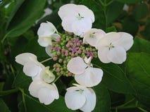 Hydrangea Macrophillia Snow - White Lace Cap. Flower close up Stock Image