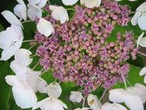 Hydrangea Macrophillia Snow - White Lace Cap. Flower close up Stock Photo