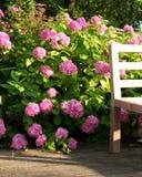 Hydrangea macrophyla royalty free stock photography