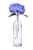 Hydrangea macrophylla Stock Images