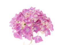 Hydrangea Macrophylla Stock Photography