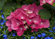 Hydrangea Macrophylla Royalty Free Stock Photos