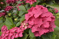 Hydrangea macrophylla. Beautiful globular flowers, corymbs Stock Photos