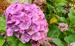 Hydrangea macrophylla. Beautiful pink Hydrangea macrophylla flower Stock Image