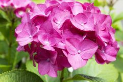 Pink purple hortensia in bloom, ornamental shrub stock images