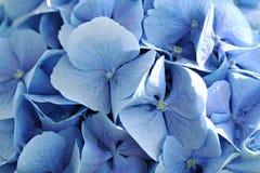 Hydrangea macrophylla (bigleaf hydrangea) Royalty Free Stock Image