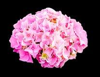 Hydrangea macrophylla Royalty Free Stock Image