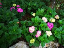 Hydrangea macrophylla. With blooming flowers Royalty Free Stock Image