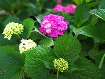 Hydrangea macrophylla Stock Photo