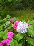 Hydrangea macrophylla. With blooming flowers Stock Photography