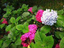 Hydrangea macrophylla. With blooming flowers Stock Photos