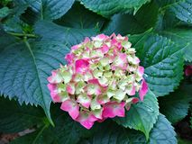 Hydrangea macrophylla. With blooming flowers Stock Image