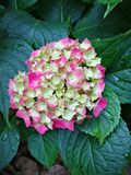 Hydrangea macrophylla Royalty Free Stock Images