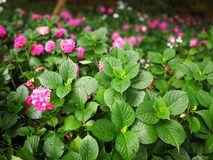 Hydrangea macrophylla. With blooming flowers Stock Images