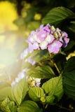 Hydrangea macrophylla 'Endless Summer' Royalty Free Stock Photography