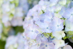 Hydrangea macrophylla flower Stock Photo