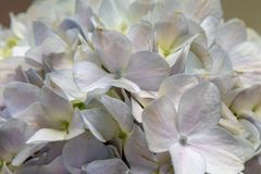 Hydrangea macrophylla-Fresh cut flowers Royalty Free Stock Image