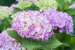 Hydrangea macrophylla. In full bloom Stock Photo
