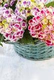Hydrangea macrophylla (hortensia flower) Stock Image