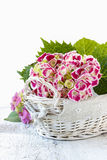 Hydrangea macrophylla (hortensia flower) Stock Photography